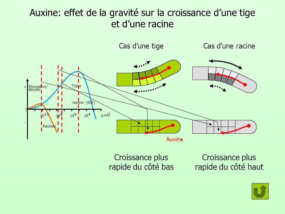 Auxine: effet de la gravité sur la croissance d'une tige et d'une racine