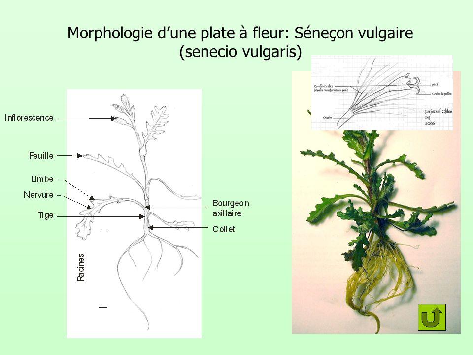 Morphologie d'une plate à fleur: Séneçon vulgaire (senecio vulgaris)