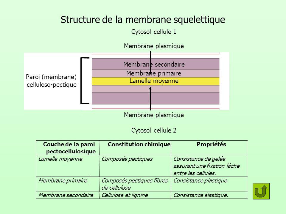Structure de la membrane squelettique