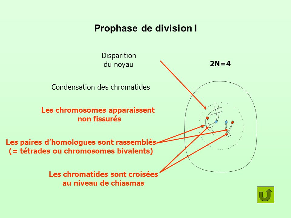 Prophase de division I Disparition du noyau 2N=4