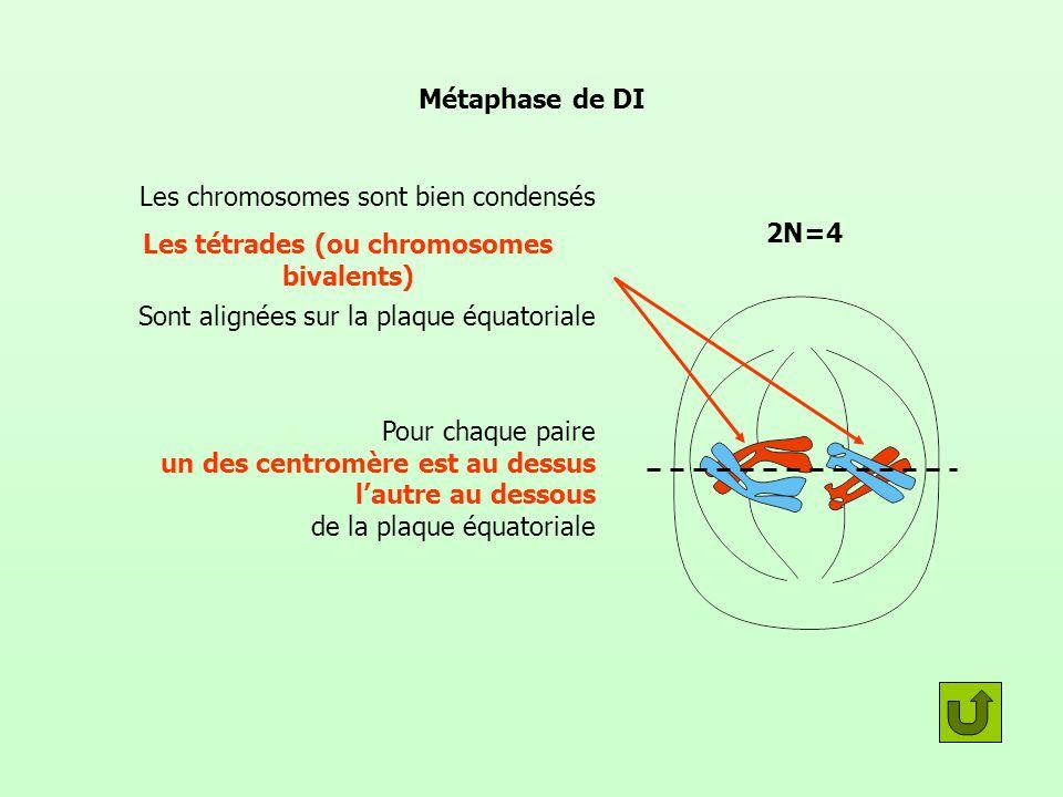 Les tétrades (ou chromosomes bivalents)