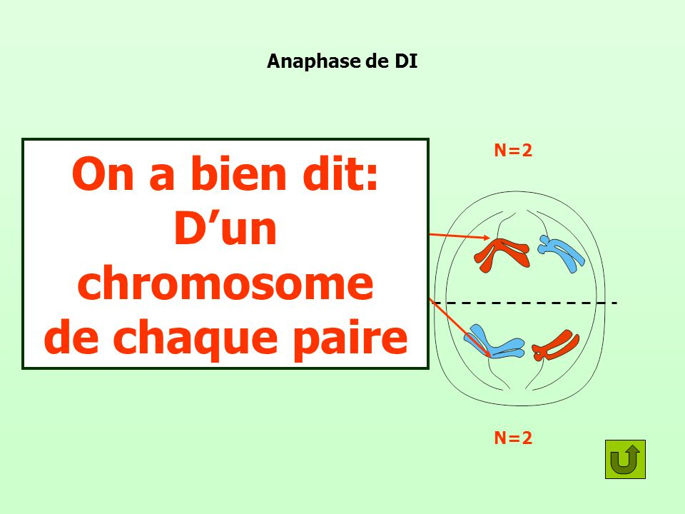 On a bien dit: D'un chromosome de chaque paire