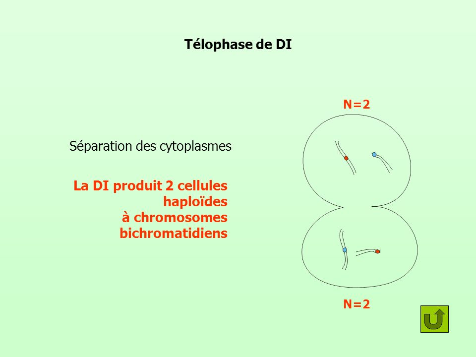 Séparation des cytoplasmes
