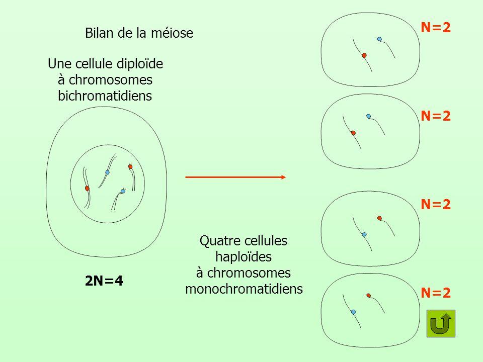 Quatre cellules haploïdes à chromosomes monochromatidiens N=2