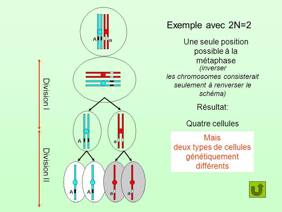 Exemple avec 2N=2 Une seule position possible à la métaphase