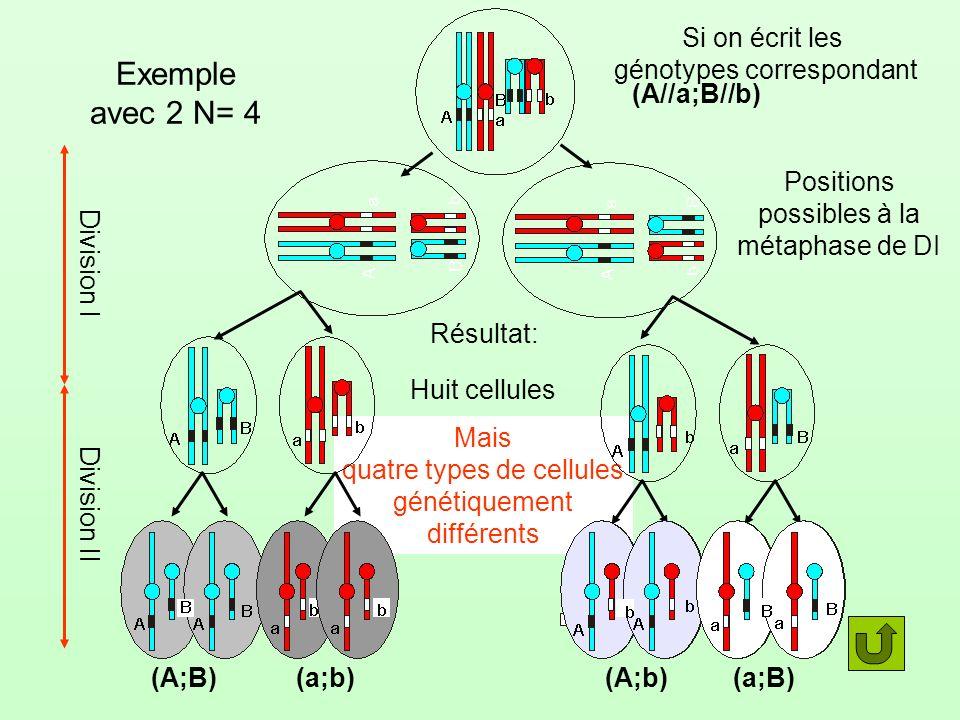 Exemple avec 2 N= 4 Si on écrit les génotypes correspondant