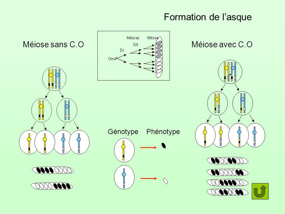 Formation de l'asque Méiose sans C.O Méiose avec C.O Génotype