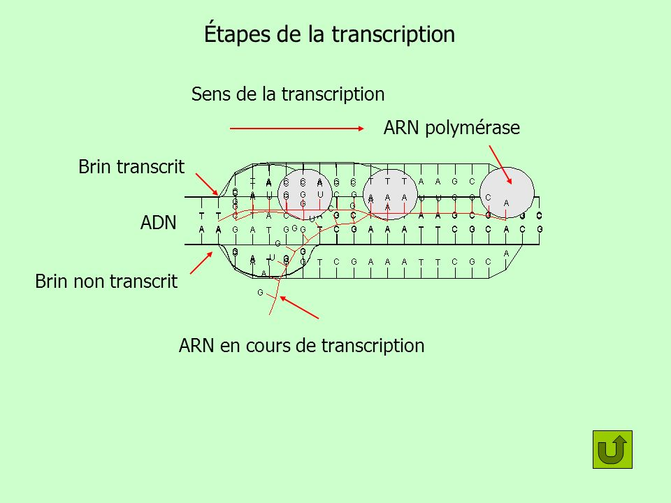 Étapes de la transcription