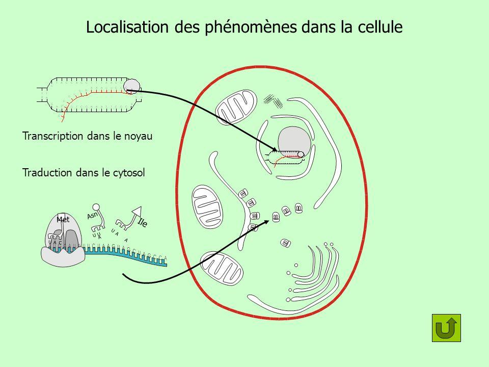 Localisation des phénomènes dans la cellule