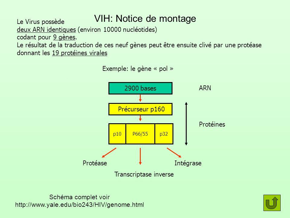 Transcriptase inverse