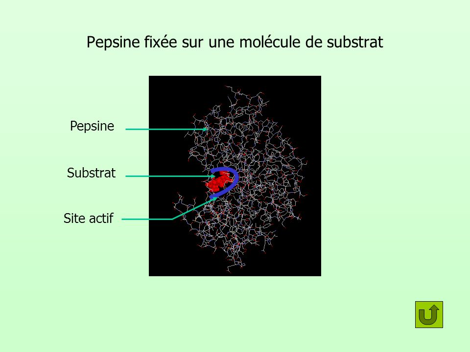 Pepsine fixée sur une molécule de substrat