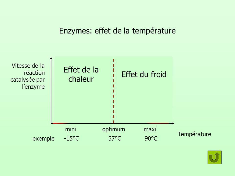 Enzymes: effet de la température