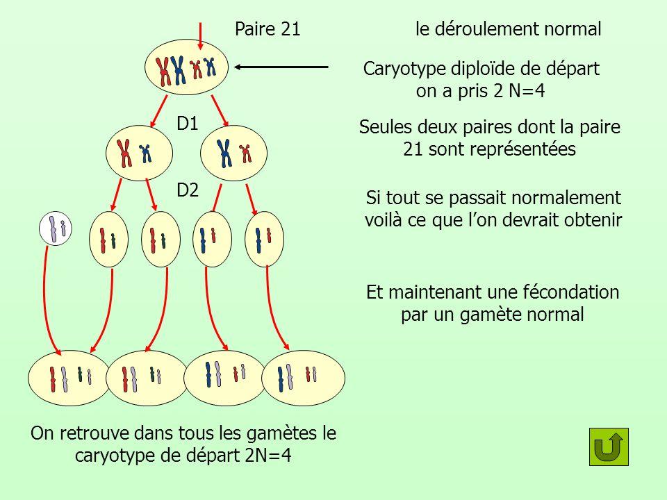 Caryotype diploïde de départ on a pris 2 N=4