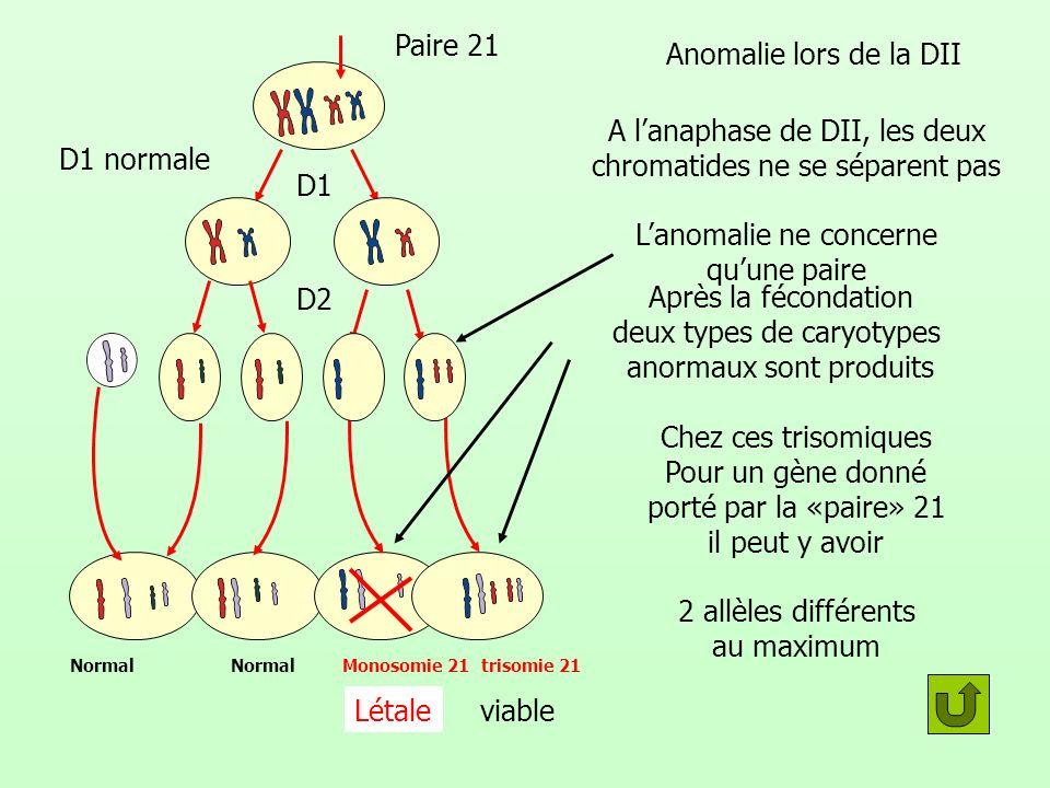 A l'anaphase de DII, les deux chromatides ne se séparent pas