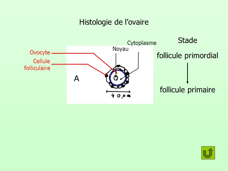 Histologie de l'ovaire