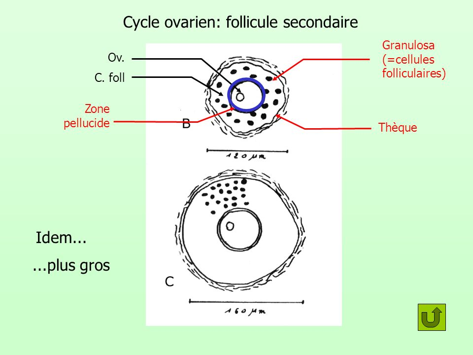 Cycle ovarien: follicule secondaire