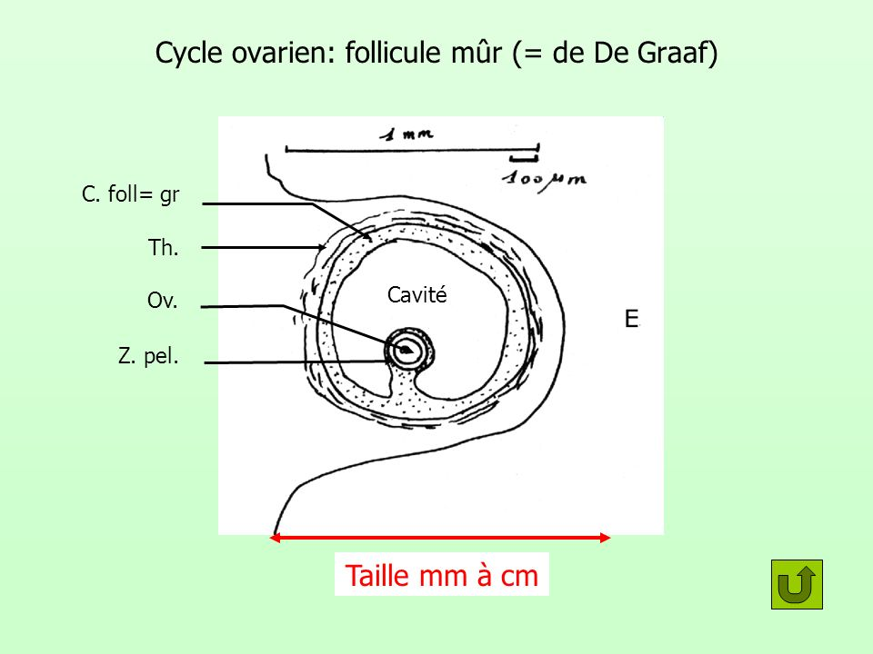 Cycle ovarien: follicule mûr (= de De Graaf)