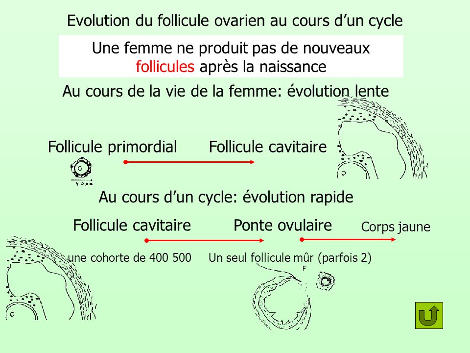 Evolution du follicule ovarien au cours d'un cycle