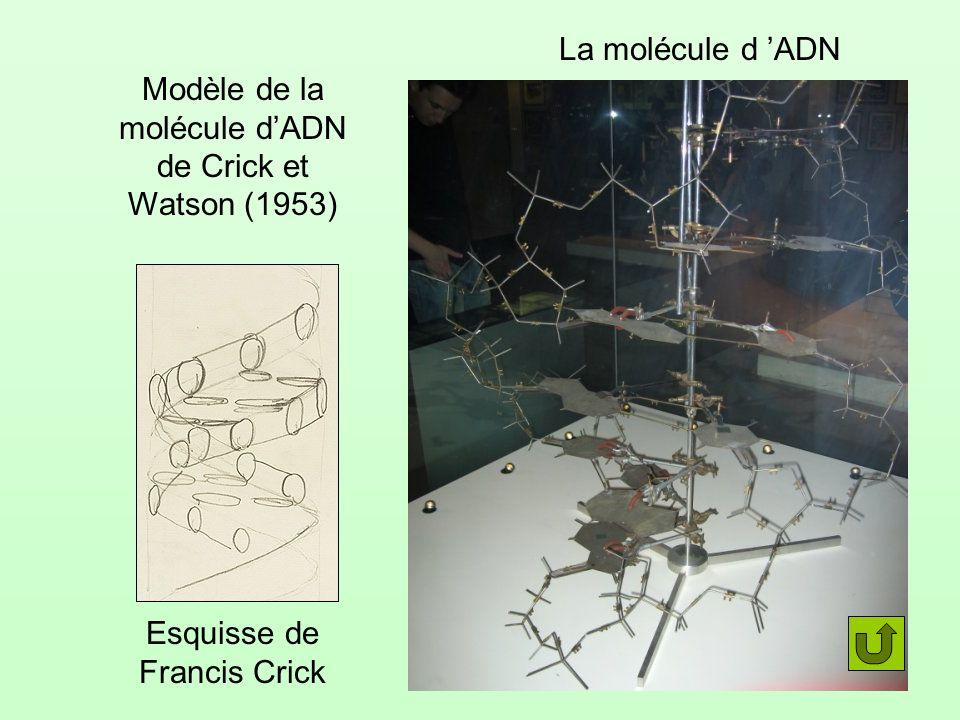 Modèle de la molécule d'ADN de Crick et Watson (1953)