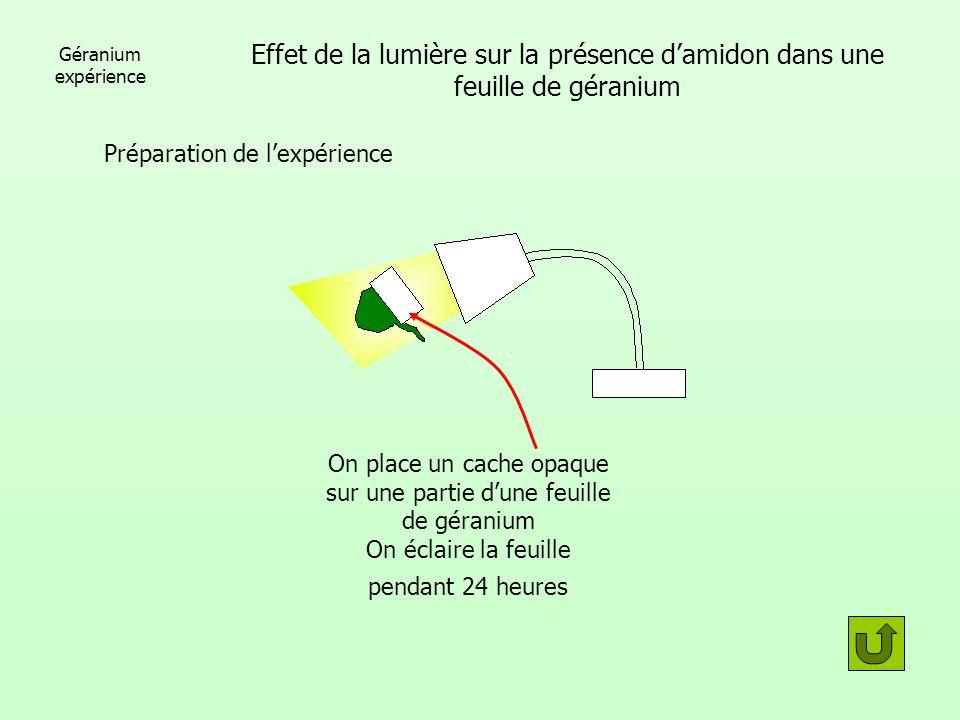 Géranium expérience Effet de la lumière sur la présence d'amidon dans une feuille de géranium. Préparation de l'expérience.