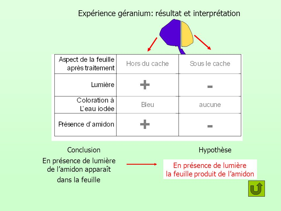 Expérience géranium: résultat et interprétation