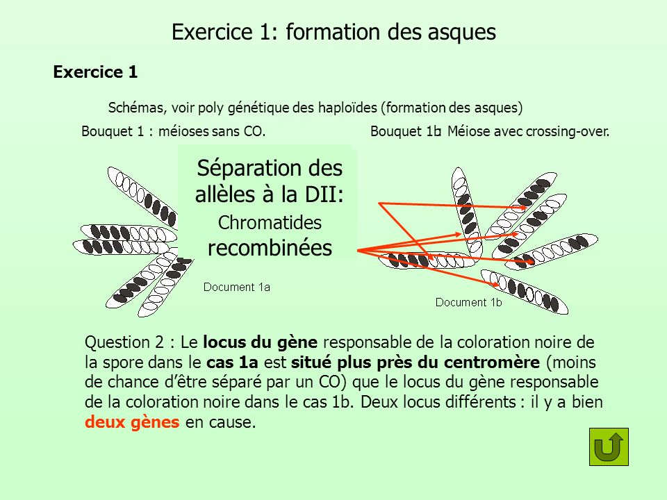 Exercice 1: formation des asques
