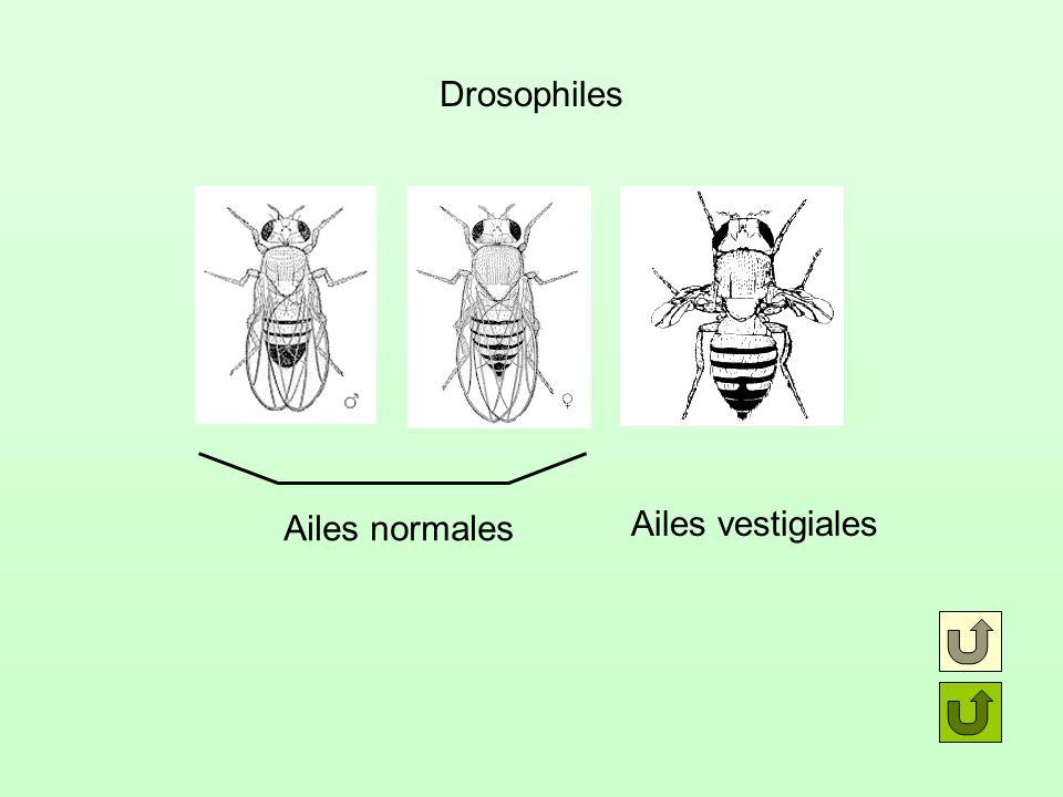 Drosophiles Ailes normales Ailes vestigiales