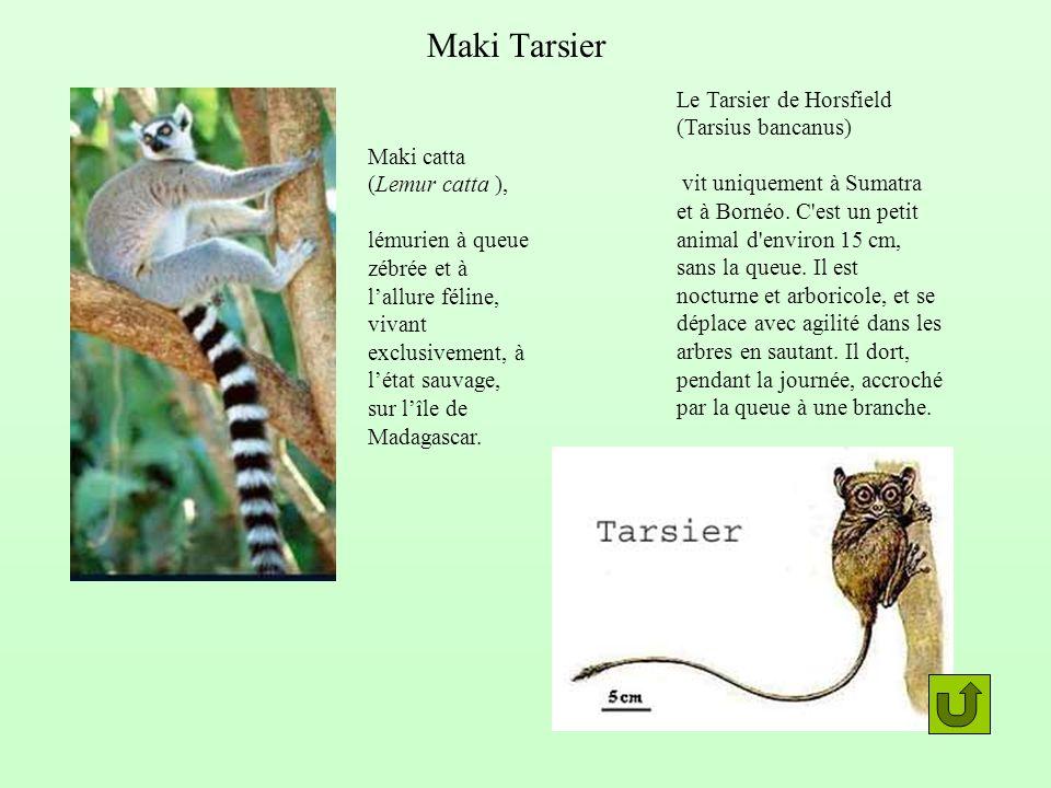 Maki Tarsier Le Tarsier de Horsfield (Tarsius bancanus)