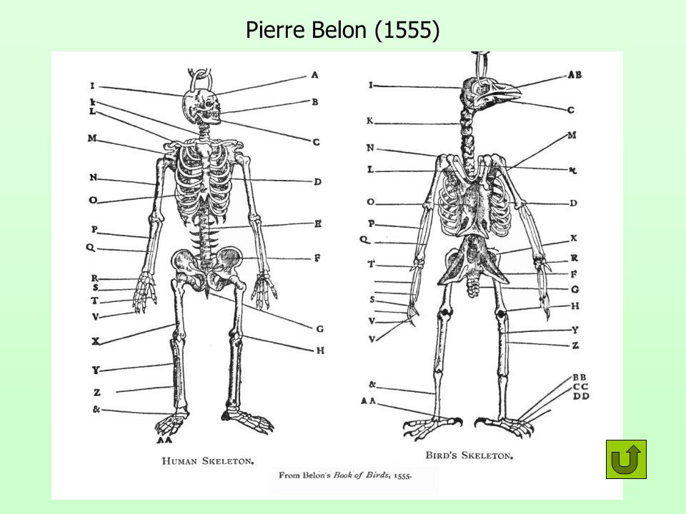 Pierre Belon (1555)