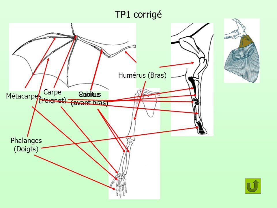 TP1 corrigé Carpe (Poignet) Métacarpes Radius (avant bras) Cubitus