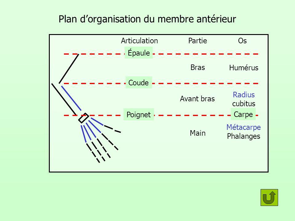 Plan d'organisation du membre antérieur