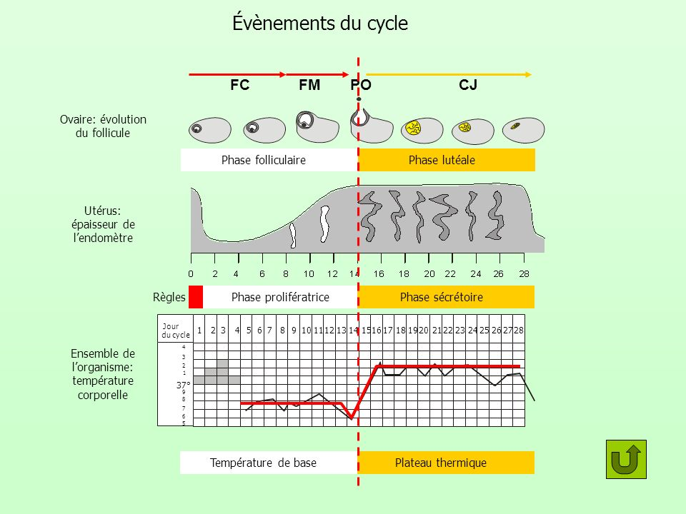 Évènements du cycle FC FM PO CJ Ovaire: évolution du follicule