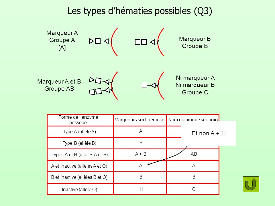 Les types d'hématies possibles (Q3)