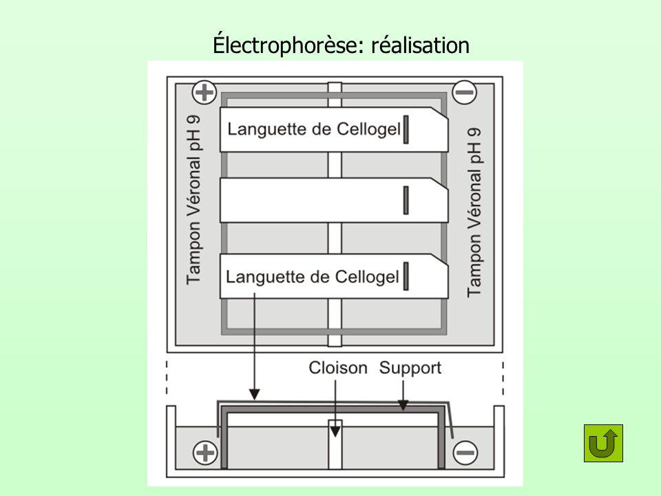 Électrophorèse: réalisation