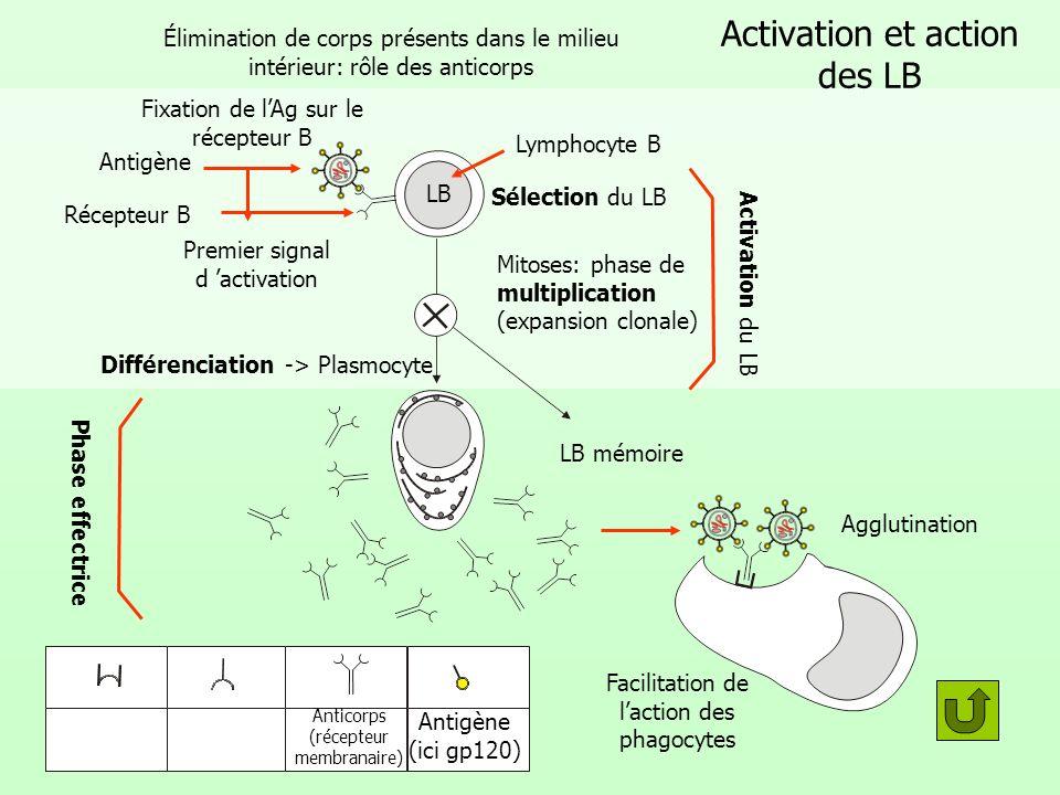 Activation et action des LB