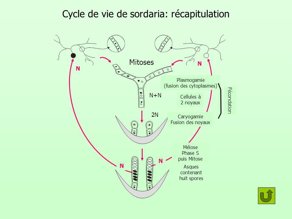 Cycle de vie de sordaria: récapitulation