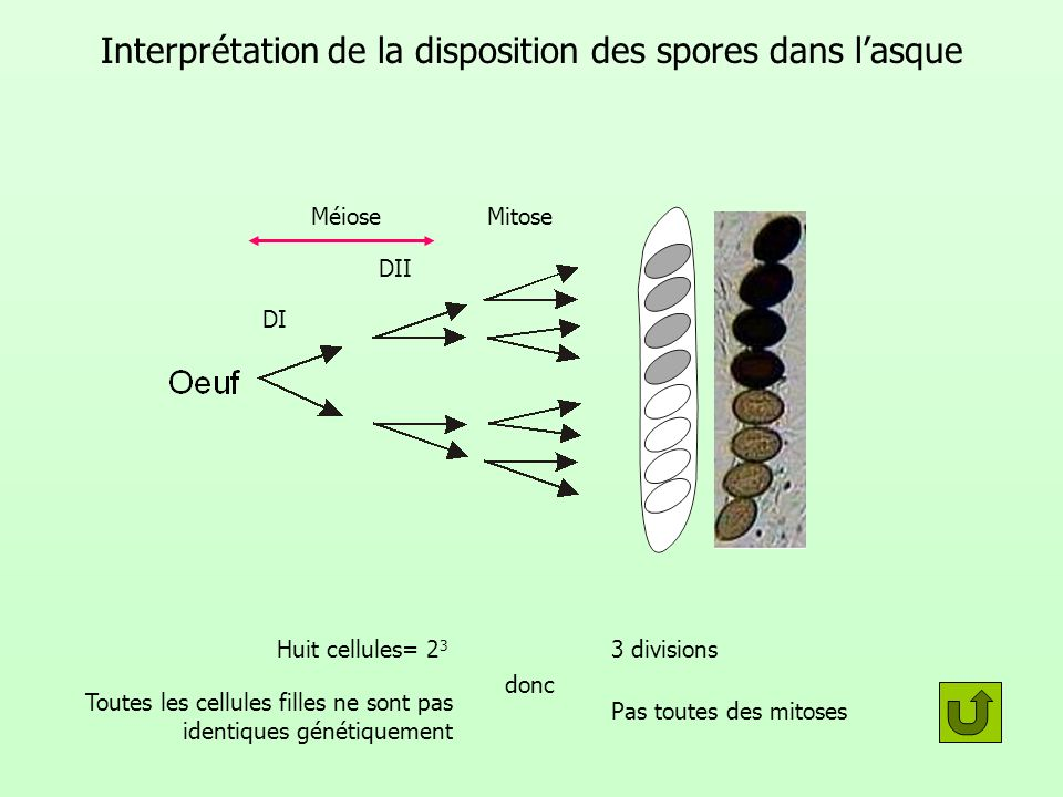 Interprétation de la disposition des spores dans l'asque