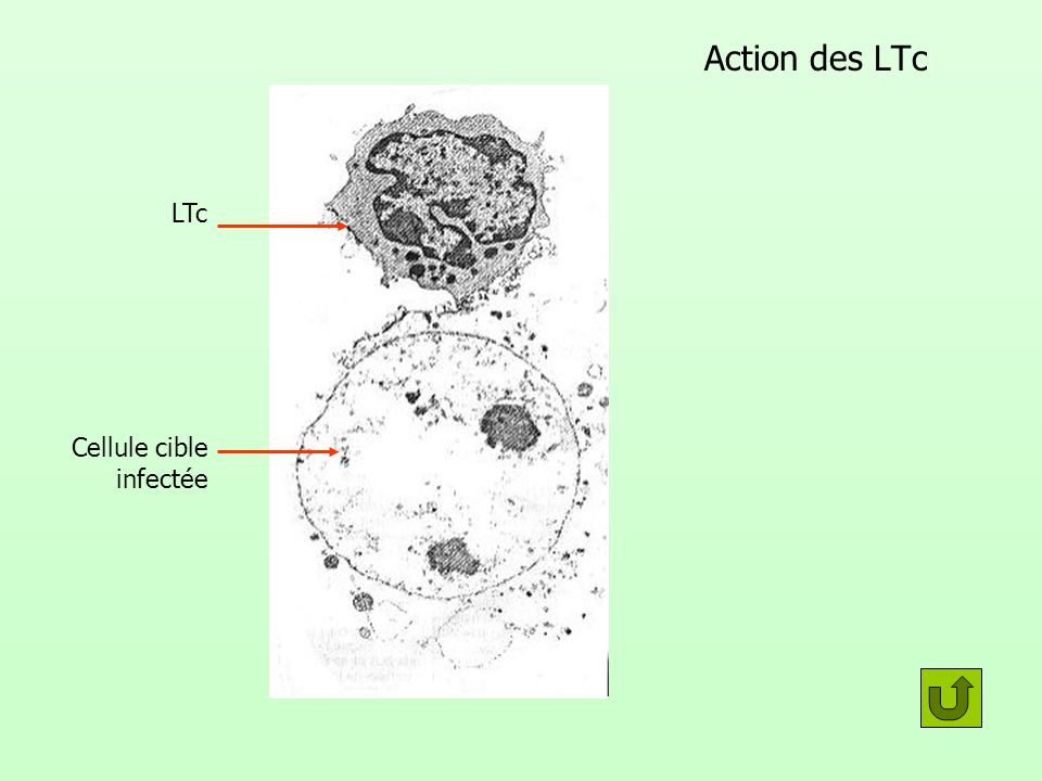 Action des LTc LTc Cellule cible infectée