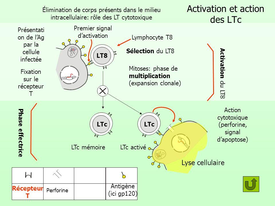 Activation et action des LTc