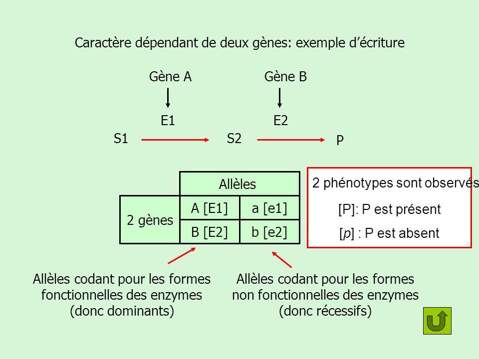 Caractère dépendant de deux gènes: exemple d'écriture