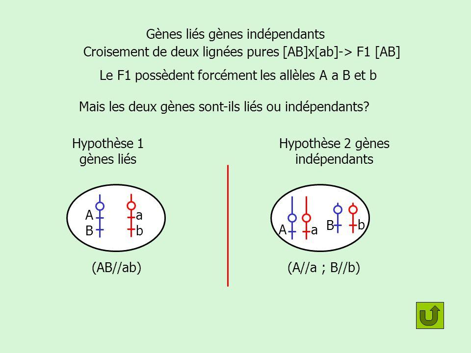 Gènes liés gènes indépendants