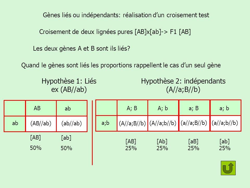 Gènes liés ou indépendants: réalisation d'un croisement test