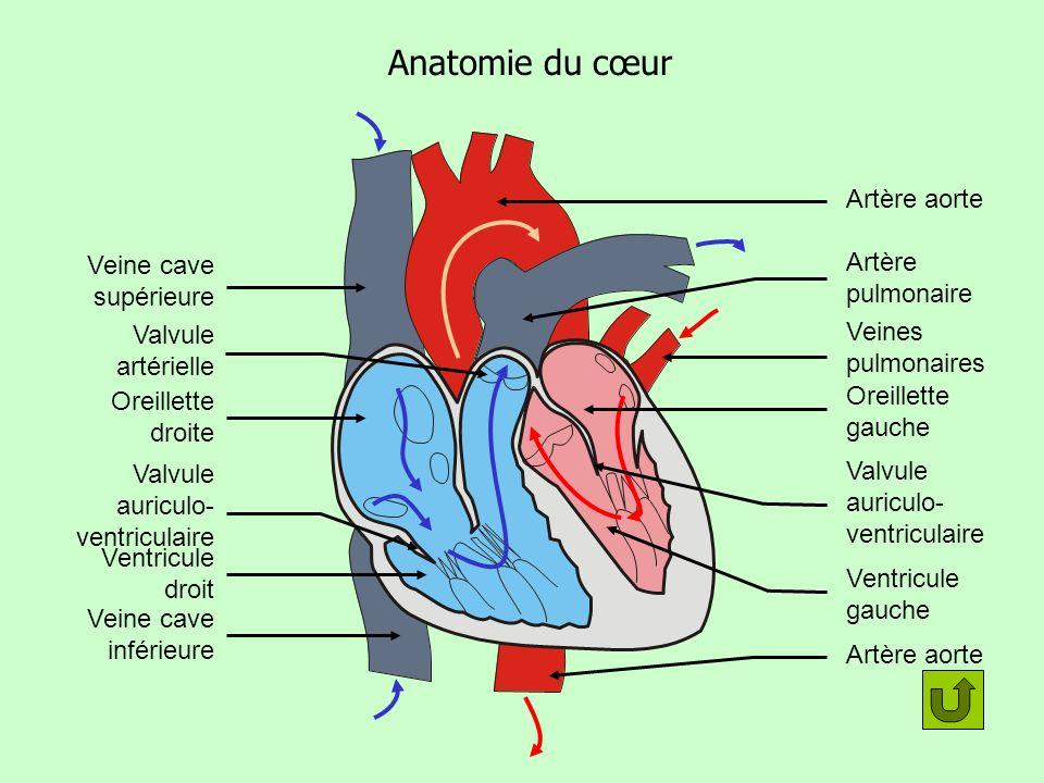 Anatomie du cœur Artère aorte Artère pulmonaire Veine cave supérieure