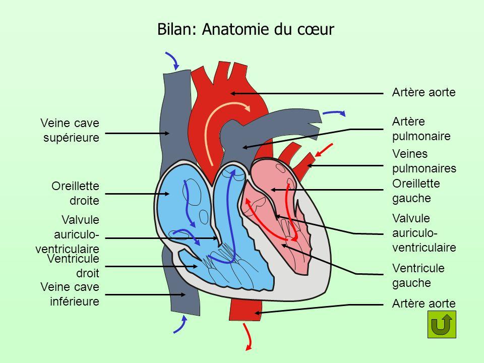 Bilan: Anatomie du cœur