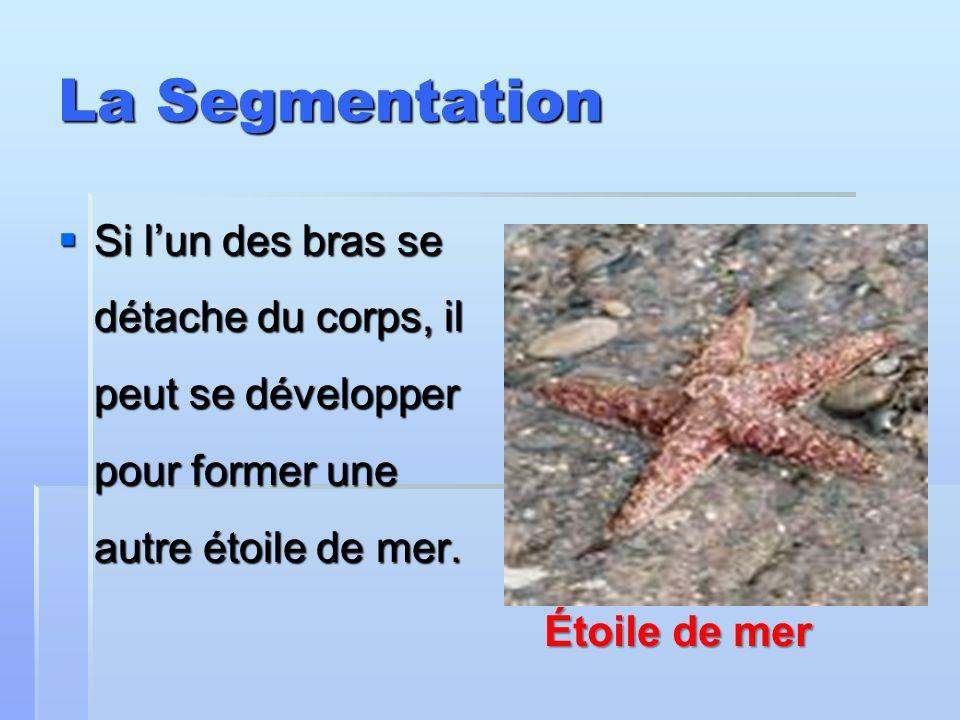 La Segmentation Si l'un des bras se détache du corps, il peut se développer pour former une autre étoile de mer.
