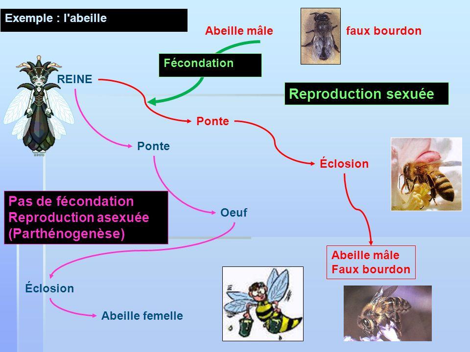 Reproduction sexuée Pas de fécondation (Parthénogenèse)