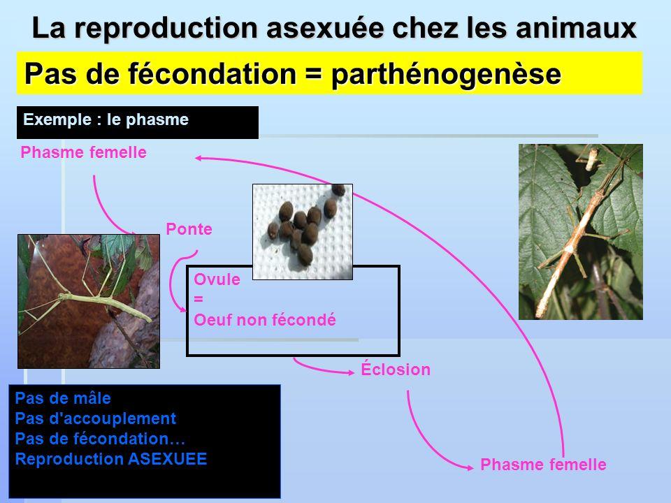 La reproduction asexuée chez les animaux