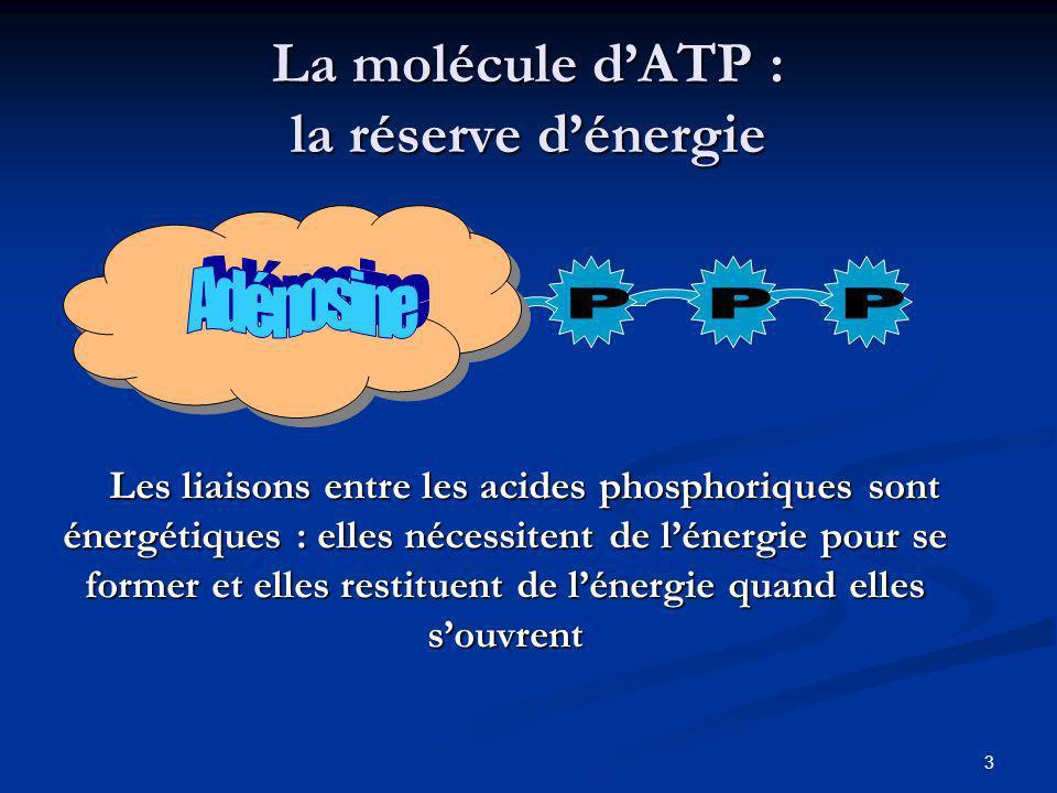 La molécule d'ATP : la réserve d'énergie