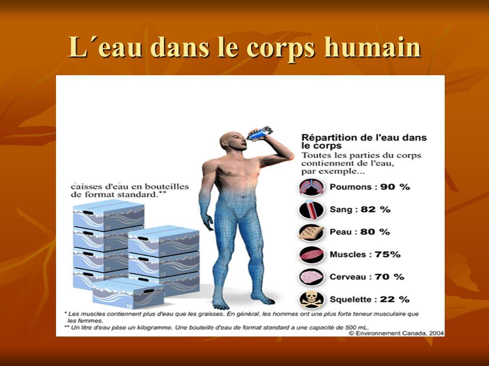 L´eau dans le corps humain