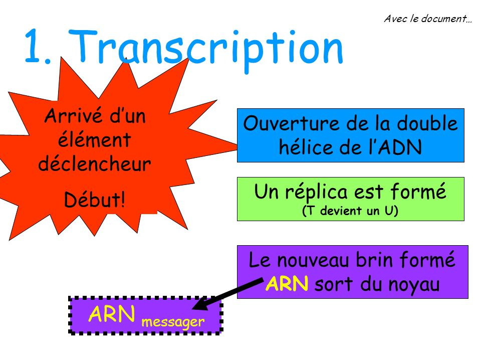 1. Transcription ARN messager Arrivé d'un élément déclencheur